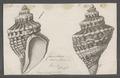 Fasciolaria aurantiaca - - Print - Iconographia Zoologica - Special Collections University of Amsterdam - UBAINV0274 084 03 0007.tif