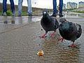 Feeding pigeons, Nizhny Novgorod.jpg