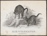 Felis catus - 1700-1880 - Print - Iconographia Zoologica - Special Collections University of Amsterdam - UBA01 IZ22100298.tif