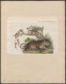 Felis onca - 1834 - Print - Iconographia Zoologica - Special Collections University of Amsterdam - UBA01 IZ22100170.tif