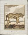 Felis tigris - 1700-1880 - Print - Iconographia Zoologica - Special Collections University of Amsterdam - UBA01 IZ22100103.tif