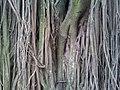 Ficus Elastica's Aerial Roots (5293879407).jpg