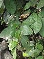 Ficus Sp 24.jpg