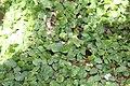 Ficus pumila 26zz.jpg