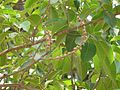 Ficus sp. ? (2428972168).jpg