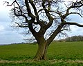 Field oak tree - geograph.org.uk - 769123.jpg