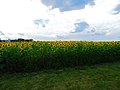 Field of Sunflowers - panoramio (3).jpg