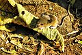 Filhote de rato silvestre.jpg