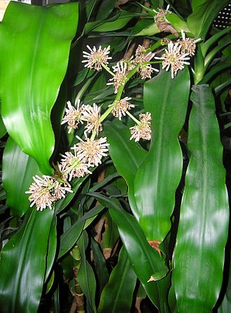 Dracaena fragrans - Foliage and flowers