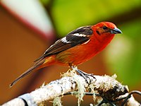 Flame-colored Tanager 2.jpg