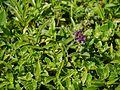 Flemingia nilgheriensis (Baker) T.Cooke (21802159655).jpg