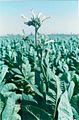 Fleur toubak tchamp.jpg