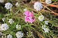 Fleurs, jardin Compans Caffarelli 2.JPG