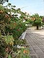Fleurs a calpe en mai 2009 - panoramio.jpg