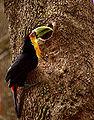 Flickr - Dario Sanches - TUCANO-DE-BICO-VERDE (Ramphastos dicolorus) (6).jpg