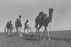 Flickr - Government Press Office (GPO) - Camels for Plowing.jpg