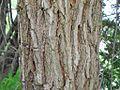 Flickr - João de Deus Medeiros - Platypodium elegans.jpg