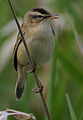Flickr - Rainbirder - Sedge Warbler (Acrocephalus schoenobaenus).jpg