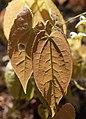 Flickr - brewbooks - Epimedium leaves.jpg