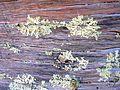 Flickr - brewbooks - Lichen on Kauri root.jpg