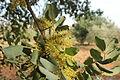 Flor de garrover II.JPG