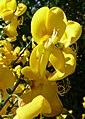 Flor de retama - panoramio.jpg