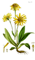 Flora Homoeopathica-1 082.png