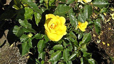 Floribunda - Sunsprite 4 (cr).JPG