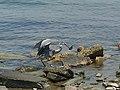 Florida Blue Heron - panoramio.jpg