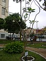 Floripondio Rosado en el Jardín Botánico de Lima.jpg