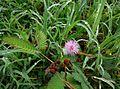 Flower of Mimosa pudica.jpg