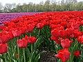 Flowerfields near Noordwijk (Netherlands 2007) (2475754347).jpg