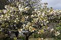 Flowering tree, Belfast, April 2012 (01).JPG