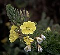 Flowers, Sutro Baths, San Francisco (34720239604).jpg