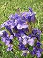 Flowers Gorechavka 2009 - panoramio (1).jpg