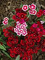 Flowers in Nishat Bagh Garden - Srinagar - Jammu & Kashmir - India - 04 (26842695025).jpg