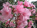 Flowers of Nerium oleander.jpg