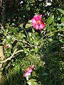 Flowers of camellia sasanqua 20151106.jpg