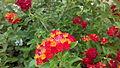 Flowers of india 09.jpg