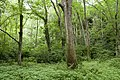 Forest in Mt.Gozen (Ibaraki) 07.jpg
