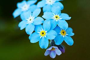 English: Forget-me-nots