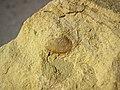 Fossiliferous sandstone (Logan Formation, Lower Mississippian; Rt. 35 roadcut, northeast of Rittenours, Ohio, USA) 1 (39129332780).jpg