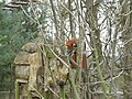 Fota Wildlife Park - Red Panda - panoramio (3).jpg