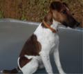 Fox-terrier desperados.png
