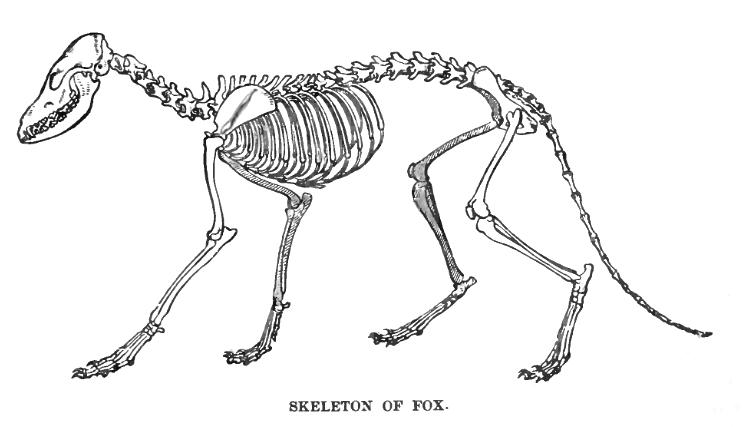 FoxSkelLyd1