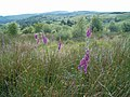 Foxgloves - geograph.org.uk - 200335.jpg