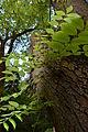 Fraxinus excelsior - City Park in Lučenec (3).jpg