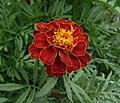 French marigold garden 2009 G2.jpg