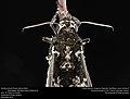 Freshly-eclosed Rustic Sphinx Month (Sphingidae, Manduca rustica (Fabricius)) (32508538854).jpg