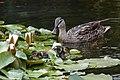 Friday Ducks (48390718237).jpg
